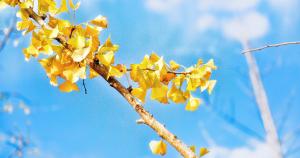 文京区にあふれるイチョウのサムネイル画像
